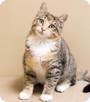 Domestic Shorthair Cat for adoption in Chicago, Illinois - Doona