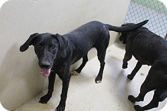 Labrador Retriever Mix Puppy for adoption in Odessa, Texas - A09 NALA