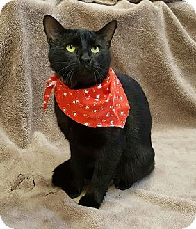 Domestic Shorthair Cat for adoption in Sterling, Massachusetts - NUNZIO*~needs a foster