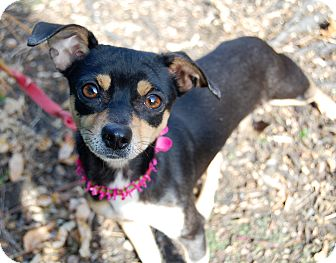 Chihuahua Mix Dog for adoption in Wilmington, Delaware - Heidi