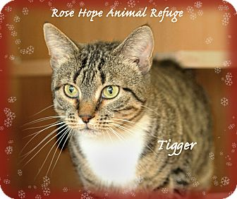 Domestic Shorthair Cat for adoption in Waterbury, Connecticut - Tigger (Female Cat)
