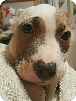 American Bulldog Mix Puppy for adoption in Savannah, Georgia - Chrissy