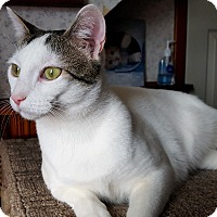 Domestic Shorthair Cat for adoption in Little Falls, New Jersey - Loretta (JT)