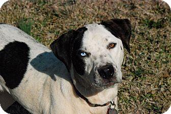 Pointer/American Bulldog Mix Dog for adoption in Greensboro, Georgia - Flower- Adopted!