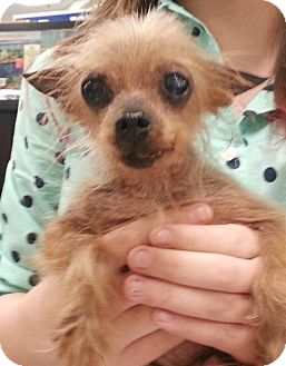 Yorkie, Yorkshire Terrier Dog for adoption in Orlando, Florida - Hamster