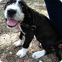 Adopt A Pet :: Blue - Adamsville, TN
