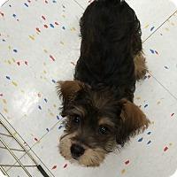 Adopt A Pet :: Riley - Algonquin, IL
