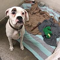Adopt A Pet :: JJ - Westminster, MD
