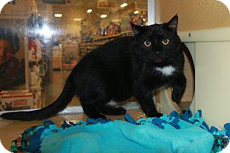 Domestic Shorthair Cat for adoption in Rochester, Minnesota - Nelson