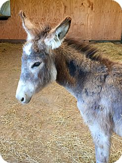 Donkey/Mule/Burro/Hinny Mix for adoption in Saint Clair, Missouri - Sampson