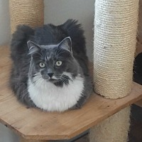 Domestic Mediumhair Cat for adoption in El Cajon, California - Nancy