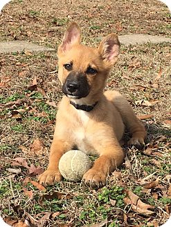 Shepherd (Unknown Type) Mix Puppy for adoption in Trenton, New Jersey - Kurt