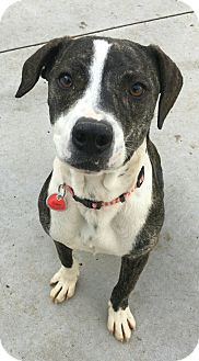 Staffordshire Bull Terrier Mix Dog for adoption in Hanna City, Illinois - Chica-adoption pending