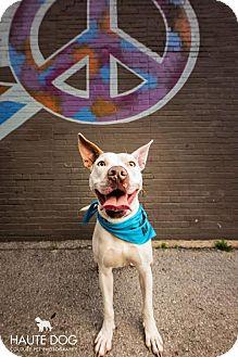Terrier (Unknown Type, Medium)/Labrador Retriever Mix Dog for adoption in Dallas, Texas - Chevy