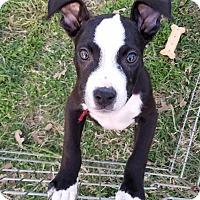 Adopt A Pet :: Milk Dud - Flower Mound, TX