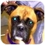 Photo 1 - Boxer Dog for adoption in Sunderland, Massachusetts - Shyla