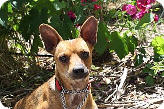 Rat Terrier Mix Dog for adoption in Elk Grove, California - ELROY