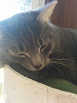 American Shorthair Cat for adoption in Maywood, Illinois - Rainbow