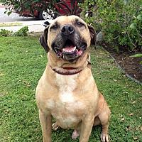 Adopt A Pet :: Bogie - Canoga Park, CA