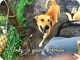 Carolina Dog Mix Dog for adoption in Cranston, Rhode Island - Indy (fostered in FL)