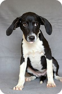 Hound (Unknown Type) Mix Puppy for adoption in Waldorf, Maryland - Ruby