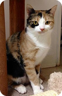 Calico Kitten for adoption in River Edge, New Jersey - Sage
