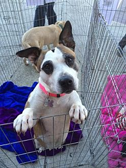 Pit Bull Terrier/Jack Russell Terrier Mix Dog for adoption in Acworth, Georgia - Baby