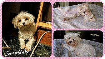 Maltese Dog for adoption in DOVER, Ohio - Snowflake
