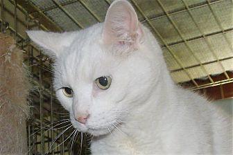 Domestic Shorthair Cat for adoption in Acme, Pennsylvania - LIGHTENING