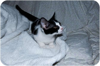 Domestic Shorthair Kitten for adoption in New Egypt, New Jersey - Cutie