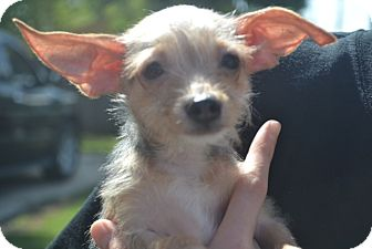 Chihuahua/Yorkie, Yorkshire Terrier Mix Puppy for adoption in Nashville, Tennessee - Jake