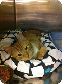 Domestic Shorthair Kitten for adoption in Pittstown, New Jersey - Blaise