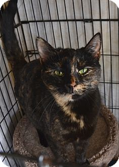 Domestic Shorthair Cat for adoption in Frederick, Maryland - Christina