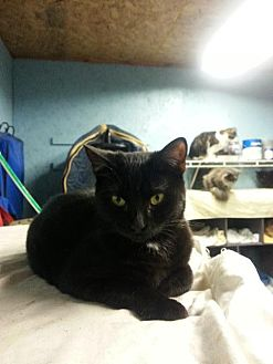 Domestic Shorthair Cat for adoption in Brainardsville, New York - Dilly