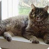 Domestic Mediumhair Cat for adoption in Belleville, Michigan - Jack
