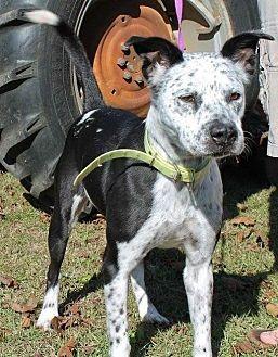 Dalmatian Mix Dog for adoption in Dawson, Georgia - Ellie