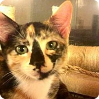 Domestic Shorthair Cat for adoption in Tyler, Texas - AA-Danica