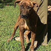 Catahoula Leopard Dog Mix Dog for adoption in Slidell, Louisiana - Gus