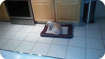 Lhasa Apso/Havanese Mix Dog for adoption in Mesa, Arizona - Fritz