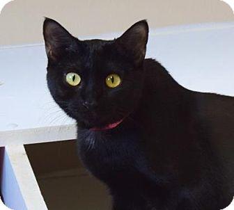 Domestic Shorthair Cat for adoption in Cumming, Georgia - Hazel