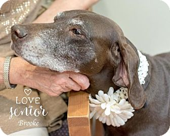 German Shorthaired Pointer/Labrador Retriever Mix Dog for adoption in Houston, Texas - Brook