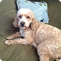 Adopt A Pet :: Chowder - Mt. Prospect, IL