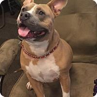 Adopt A Pet :: Bam Bam* - Miami, FL