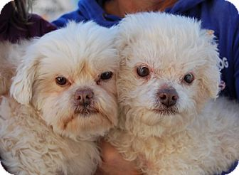 Maltese/Poodle (Toy or Tea Cup) Mix Dog for adoption in Las Vegas, Nevada - Gregory