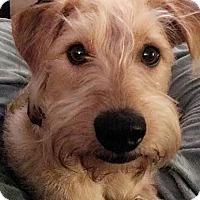Adopt A Pet :: Howie-pending - Glastonbury, CT