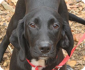 Labrador Retriever/Beagle Mix Puppy for adoption in Spring Valley, New York - Apollo