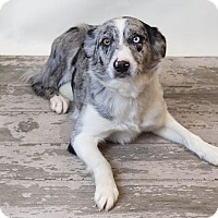 Australian Shepherd Mix Dog for adoption in Rockwall, Texas - Remi
