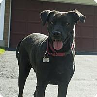 Adopt A Pet :: Kermit-SPONSORED - Naperville, IL