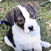 Adopt A Pet :: Pella - Glastonbury, CT