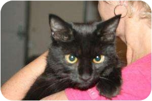 Domestic Shorthair Cat for adoption in McDonough, Georgia - Shelby